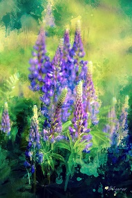11071 Lupins 1 s